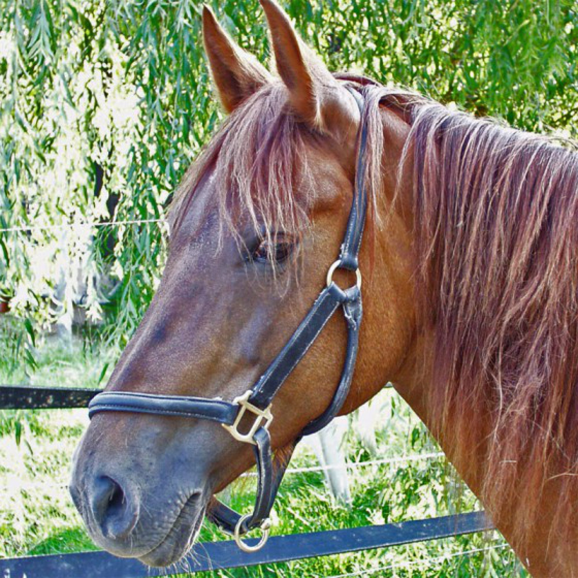 Ganzheitliche-Pferde-Medizin